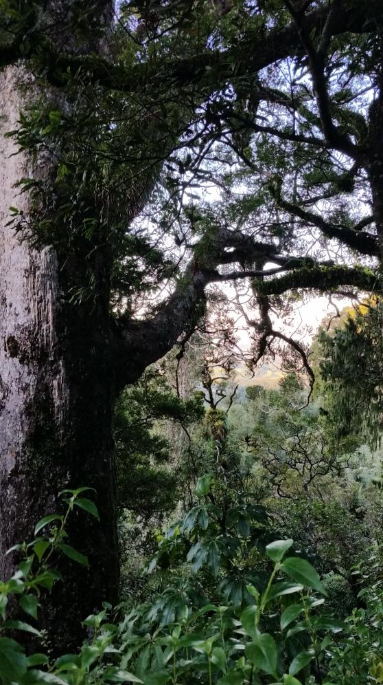 Lone Kauri Standing
